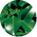Camellia leaf extract